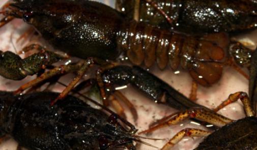 淡水小龙虾的养殖技术有哪些