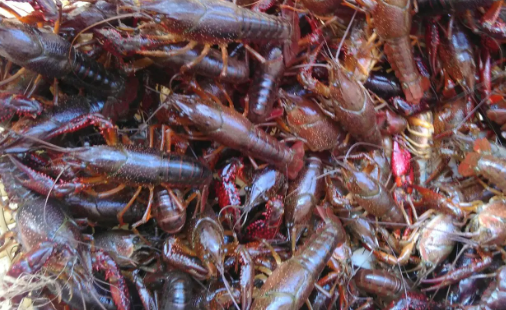 小龙虾的人工养殖前景