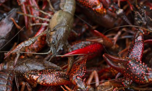 大棚小龙虾养殖技术
