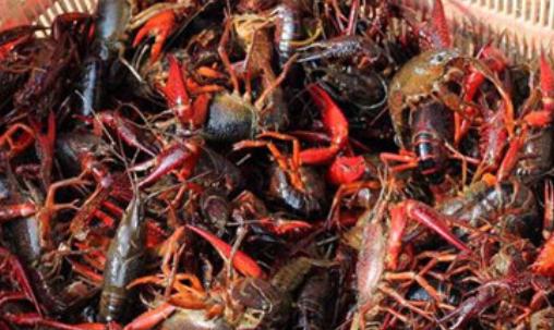 小龙虾渔塘混养管理技术有哪些