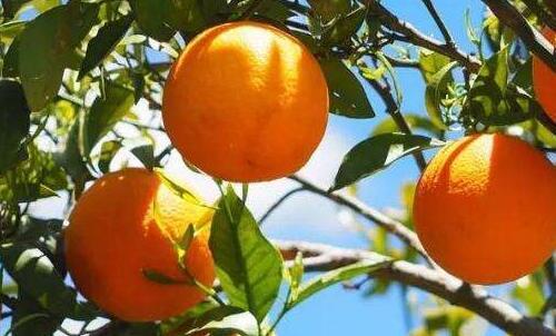 现在沃柑种植前景怎么样?