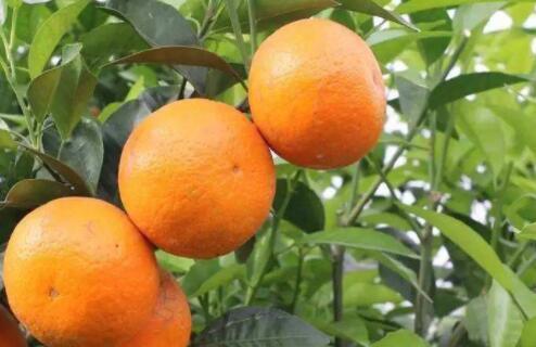 种植的沃柑几月份成熟?