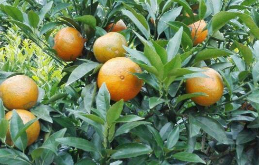 种植的沃柑多少年可挂果?