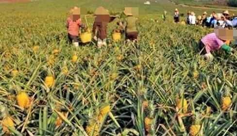 菠萝种植技术有哪些?
