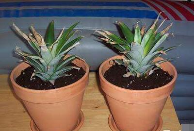 菠萝家庭种植方法有哪些?
