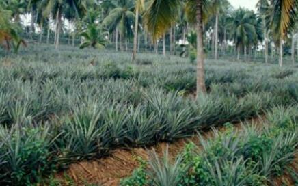 菠萝每亩种植成本多少?