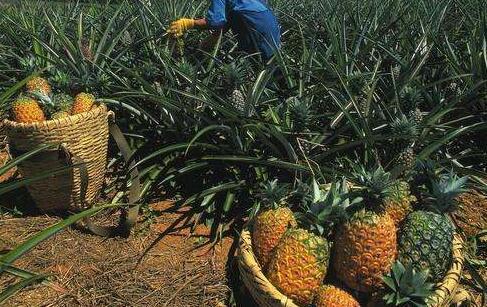 种植的菠萝一年结几次果?