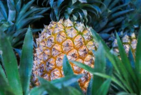 菠萝结完果会死吗?