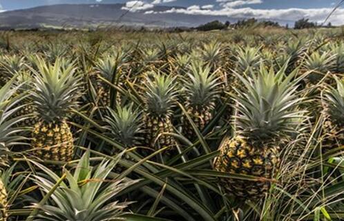 菠萝种植条件有哪些?