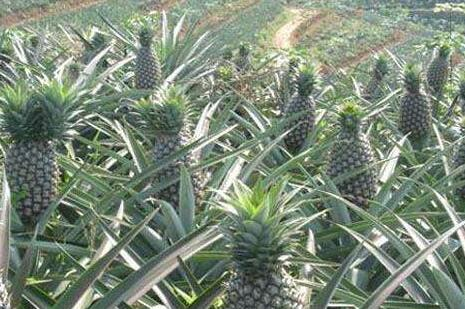 菠萝有种子吗怎么种植?