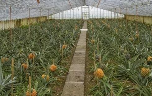 北方如何种植菠萝?