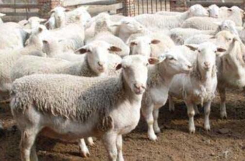 养羊注意事项有哪些?