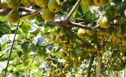 猕猴桃种植一般几年能结果?