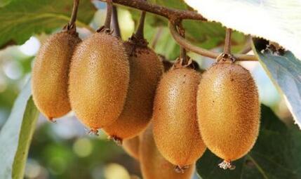 猕猴桃一般什么季节成熟?