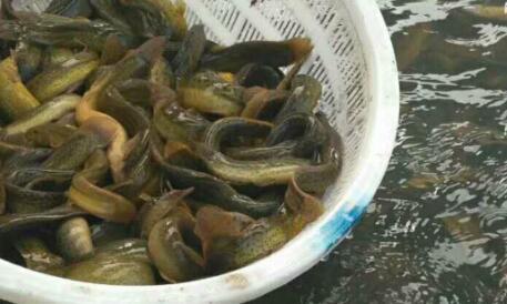 抓回来的泥鳅养在家里需要土吗?