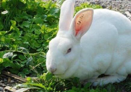 养殖一对兔子一年能繁殖几胎?