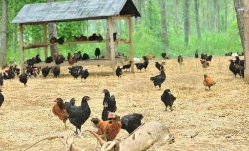 养1000只鸡一年收入大概有多少?