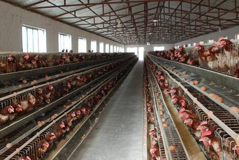 现在养鸡喂什么好利润高?