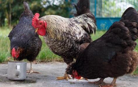 2020年养鸡政策主要有哪些?