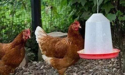 养鸡必备的三种常用药主要有哪些?
