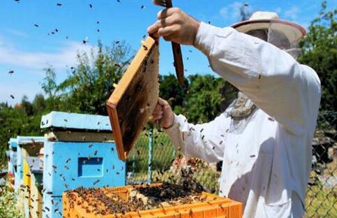 现在养20箱蜜蜂利润多少?