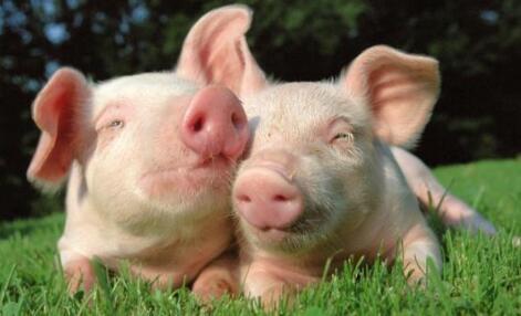现在养猪秘诀主要有哪些?