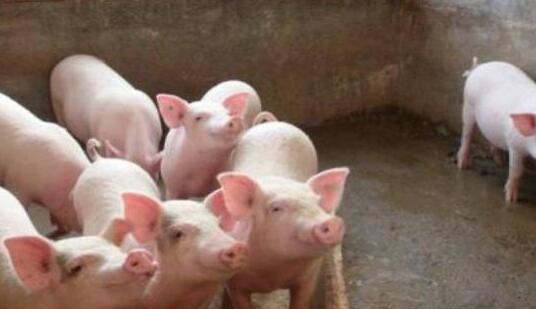 养猪快长秘诀是什么?