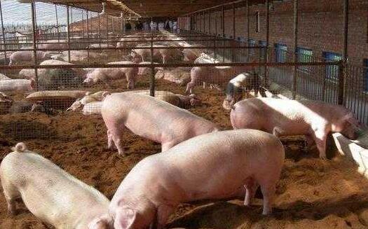 十个养猪九个亏本是怎么回事?