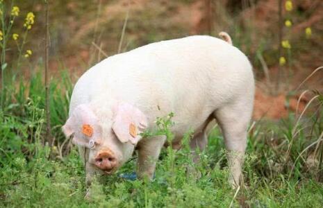 明年养猪行情究竟会不会持续上涨?