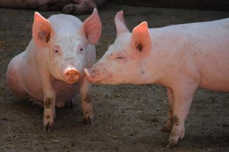 新手养猪怎么起步?