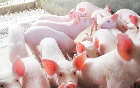 猪仔多少钱一只2020?