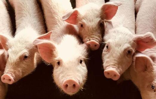 2021年猪仔的价格要多少钱一只?