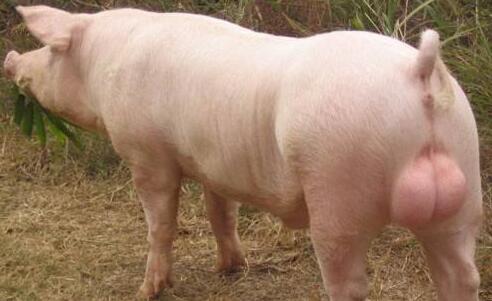 什么样的猪能当种猪?