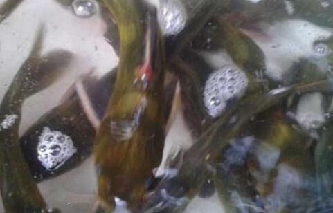 黄骨鱼适合什么样的水域养殖?