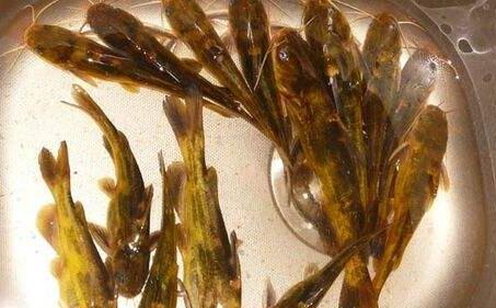 养殖一亩黄骨鱼利润大概有多少?