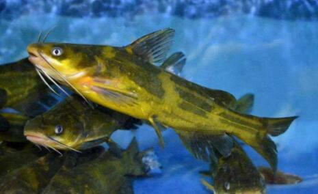 黄骨鱼和黄辣丁一样吗?