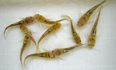 养殖黄骨鱼市场前景如何?
