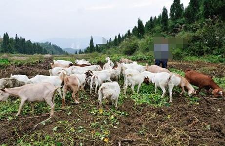 养羊一年一般养几茬?
