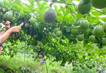 百香果种植多久才结果一年几季?