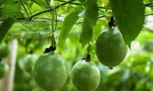 百香果种植技术与管理有哪些?