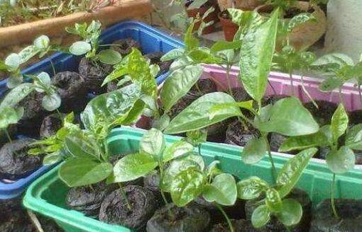 每年百香果种植时间一般是什么时候?