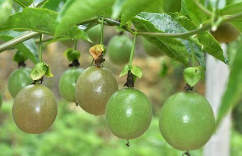 现在种植10亩百香果投资多少钱?