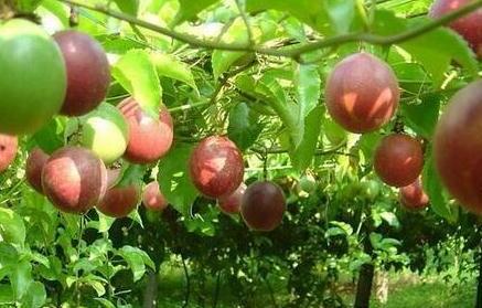 2021年百香果种植前景会怎么样?
