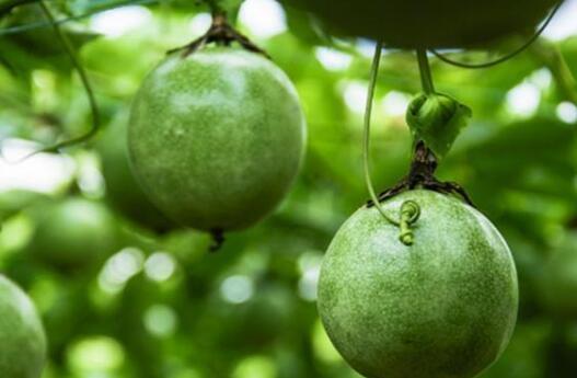 百香果施肥是哪种肥料比较好?