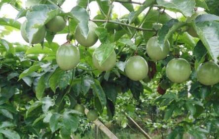 百香果种植一亩利润多少?
