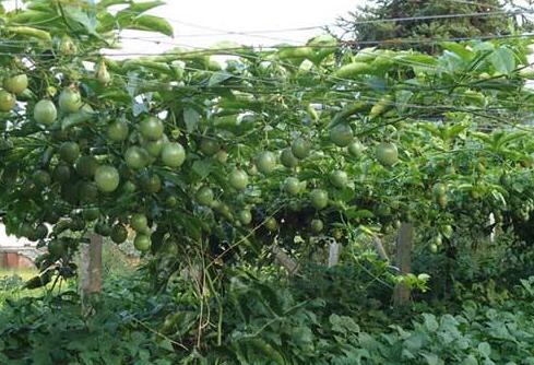 种植百香果成本估算多少合适?