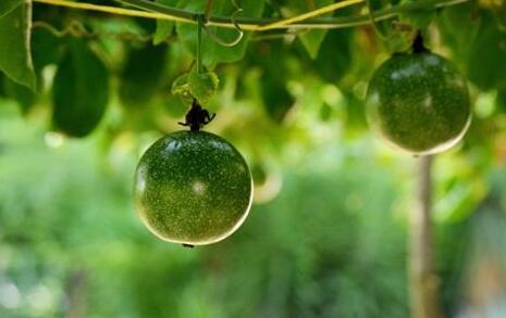 百香果种植间距是多少合适?