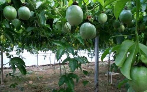 种植20亩百香果的成本大概要多少?