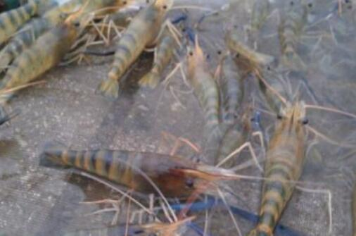 罗氏沼虾养殖养多少天?