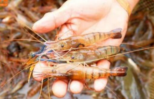 罗氏沼虾养殖成本要多少钱一亩?